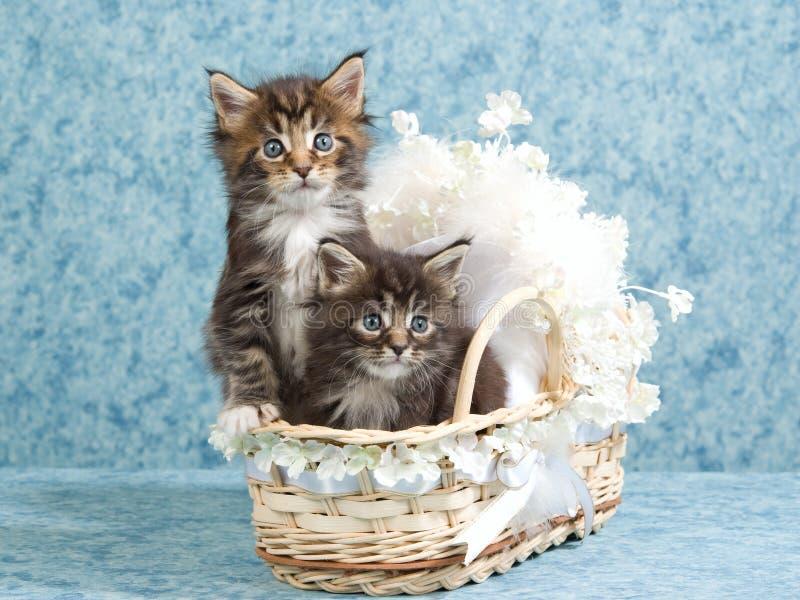 2 nette Maine-Waschbärkätzchen in der Minischätzchenkrippe lizenzfreies stockfoto