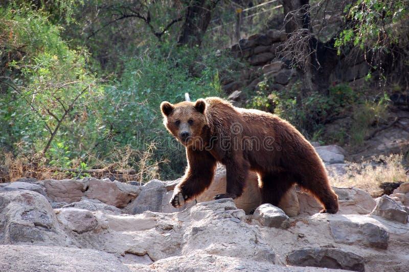 2 niedźwiedź zdjęcia royalty free