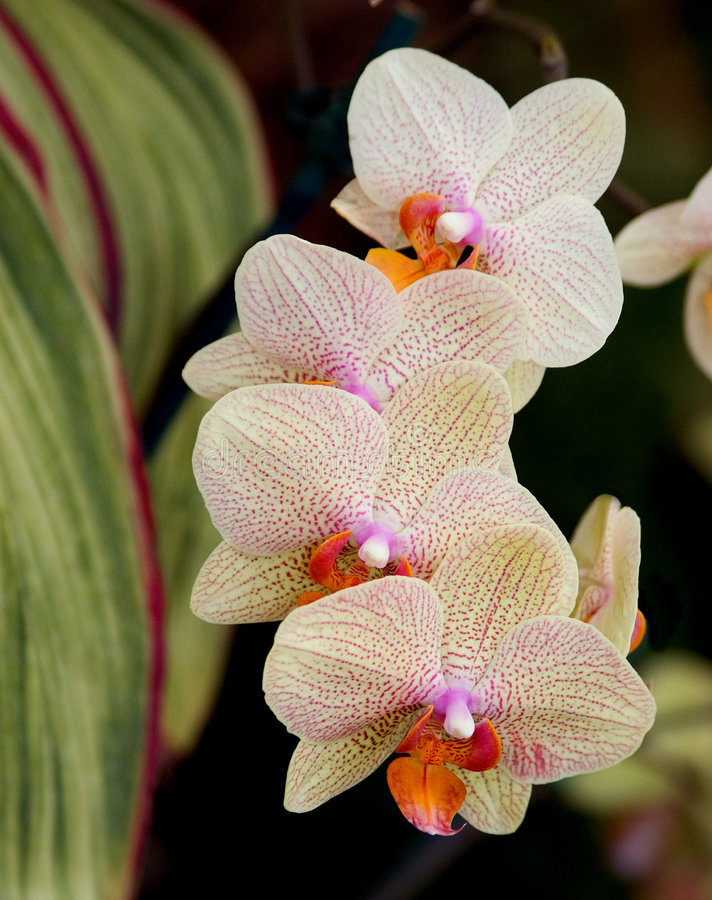 2 orchidei amunicji kasetowej zdjęcie stock