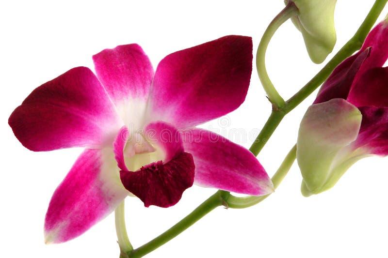 2 Orchidei Dendrobium Fotografia Stock