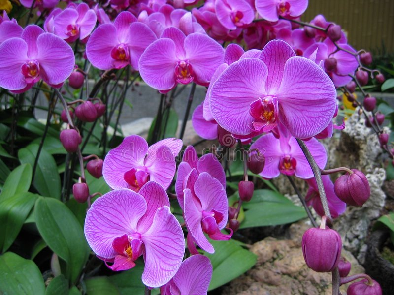 2 orchids πορφύρα στοκ εικόνα με δικαίωμα ελεύθερης χρήσης