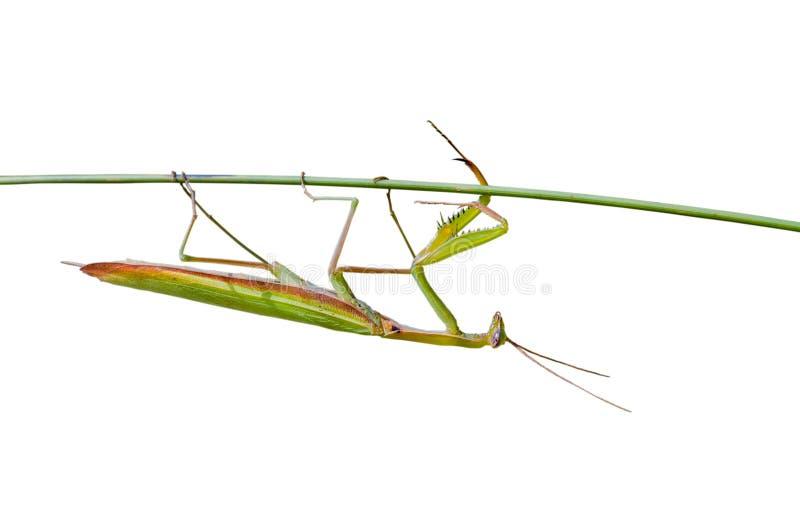 Download 2 ostrza trawy modliszki zdjęcie stock. Obraz złożonej z krykiet - 13341536