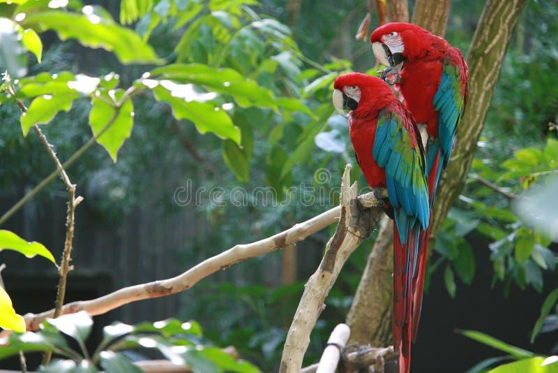 2 papegaaien die op een tak zitten stock afbeelding