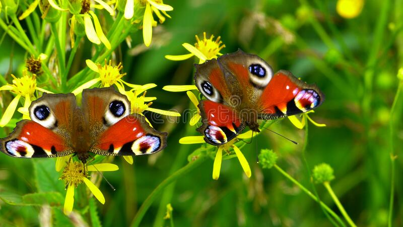 2 Peacock Butterflies Perched On Yellow Flower In Close Up Photography During Daytime Free Public Domain Cc0 Image