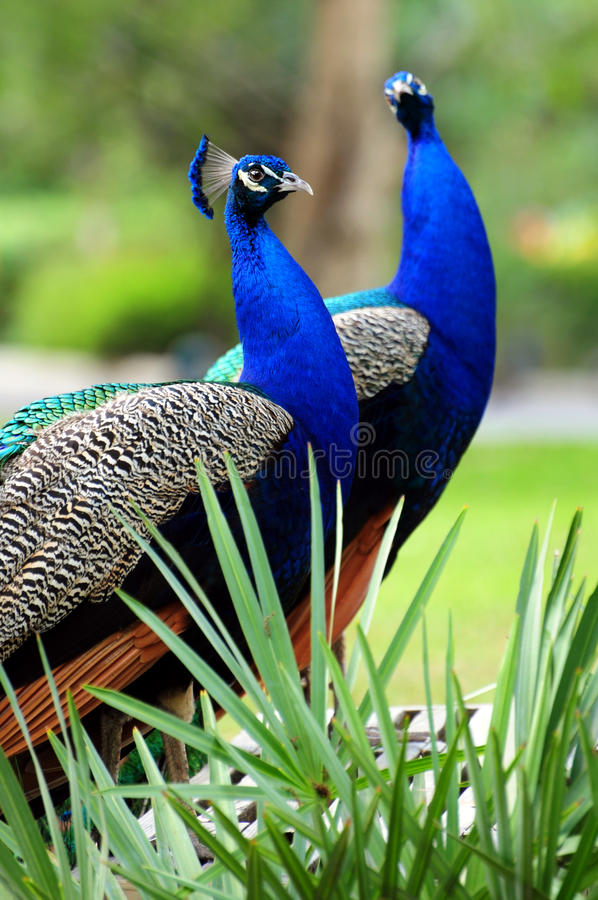 Free 2 Peacocks Royalty Free Stock Images - 11033159