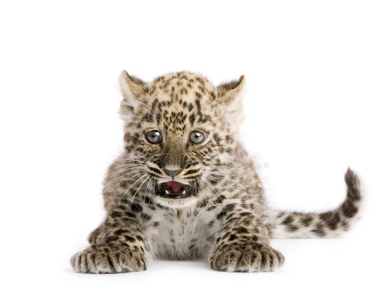 2 persiska gröngölingleopardmånader royaltyfria foton