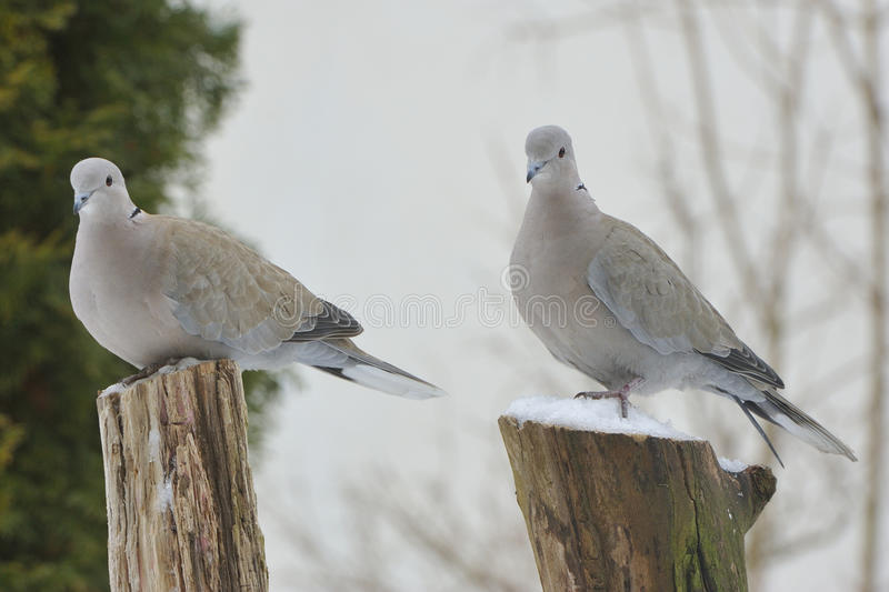 2 pigeons in winter, on a branch. royalty free stock photography