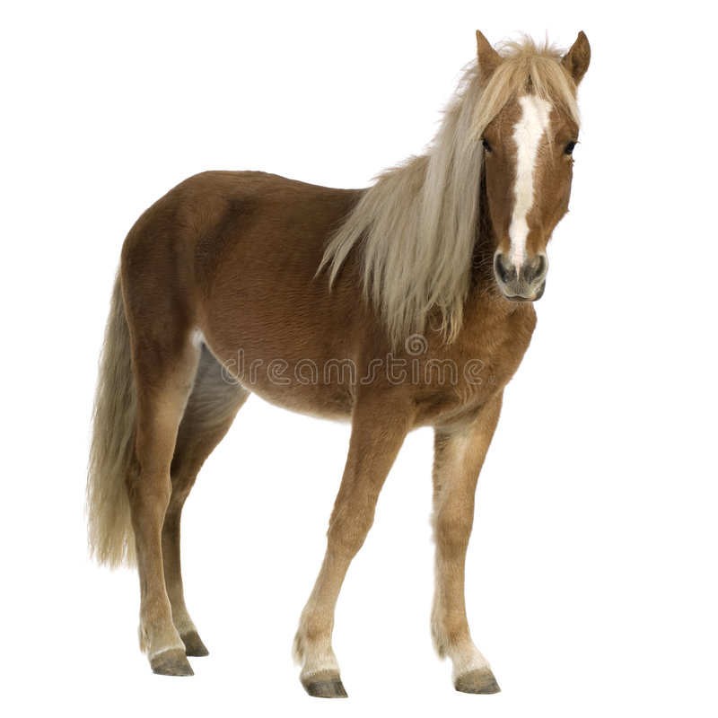 2 ponnyshetland år royaltyfri bild