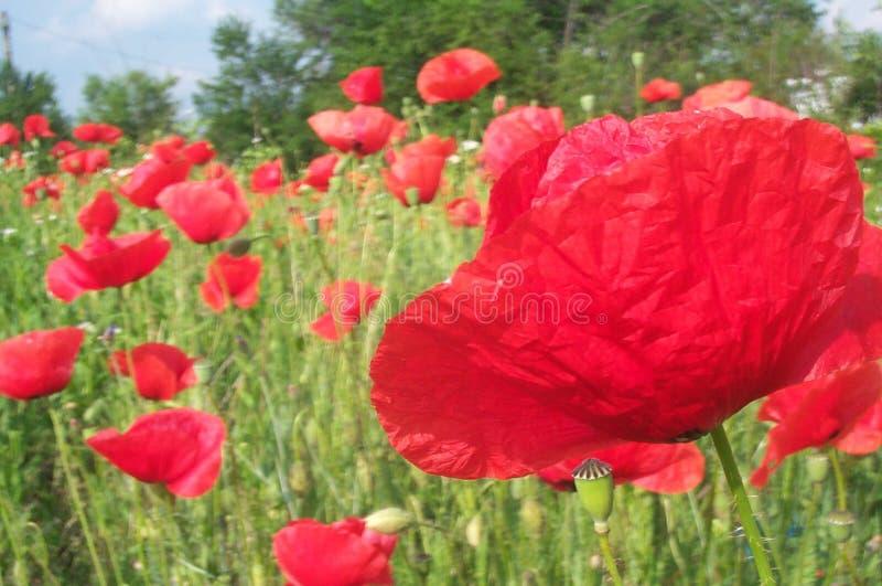 2 poppy polowe zdjęcia royalty free