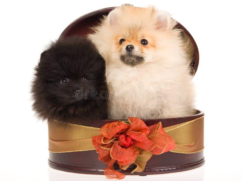 2 puppy Pomeranian in ronde giftdoos stock foto