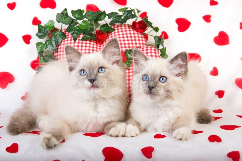 2 Ragdoll Kätzchen mit Valentinsgrußstützen lizenzfreie stockbilder