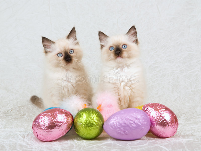 2 Ragdoll kittens with Easter eggs stock photo