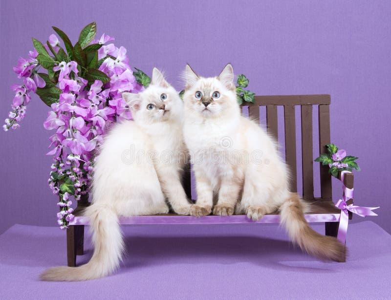 2 Ragdoll Kittens On Miniature Bench Stock Image