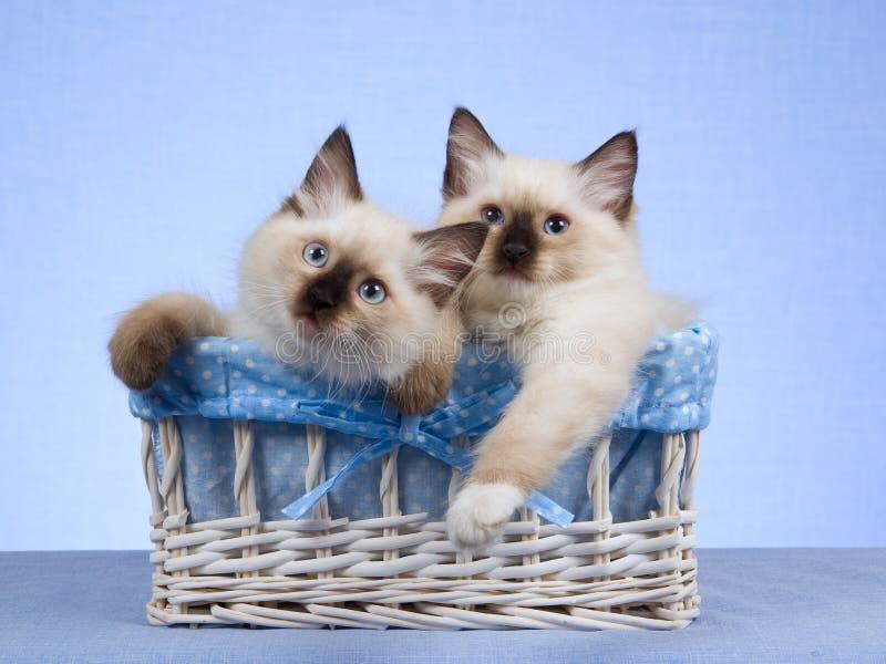 2 Ragdoll kittens sitting in white basket. Cute Ragdoll kittens sitting inside woven white basket stock photo