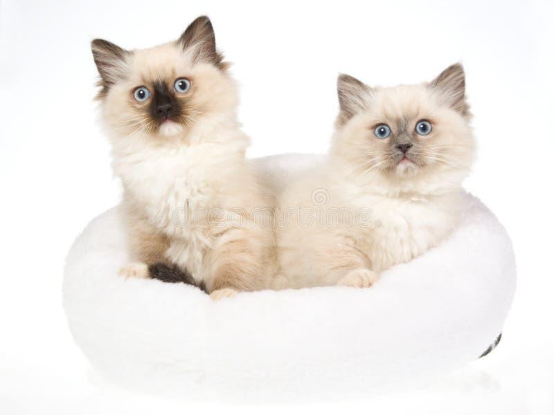 2 Ragdoll kittens in white fur bed. 2 cute Ragdoll kittens sitting in soft white fur bed, on white background stock photo