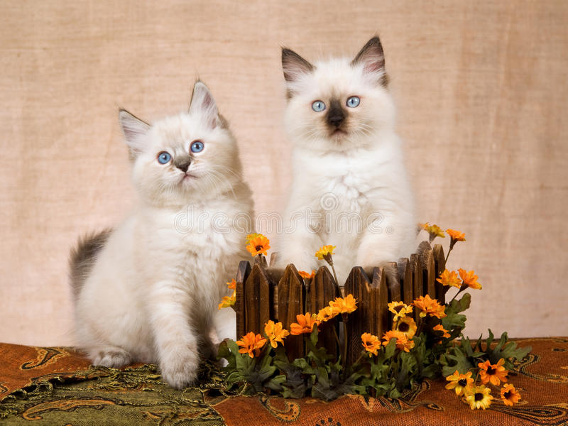 2 Ragdoll kittens in wood box. Ragdoll kittens inside and next to brown wooden box with orange daisies flowers