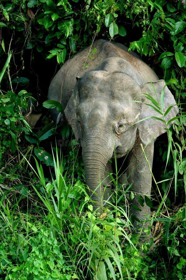 2 słoni pigmej obraz stock