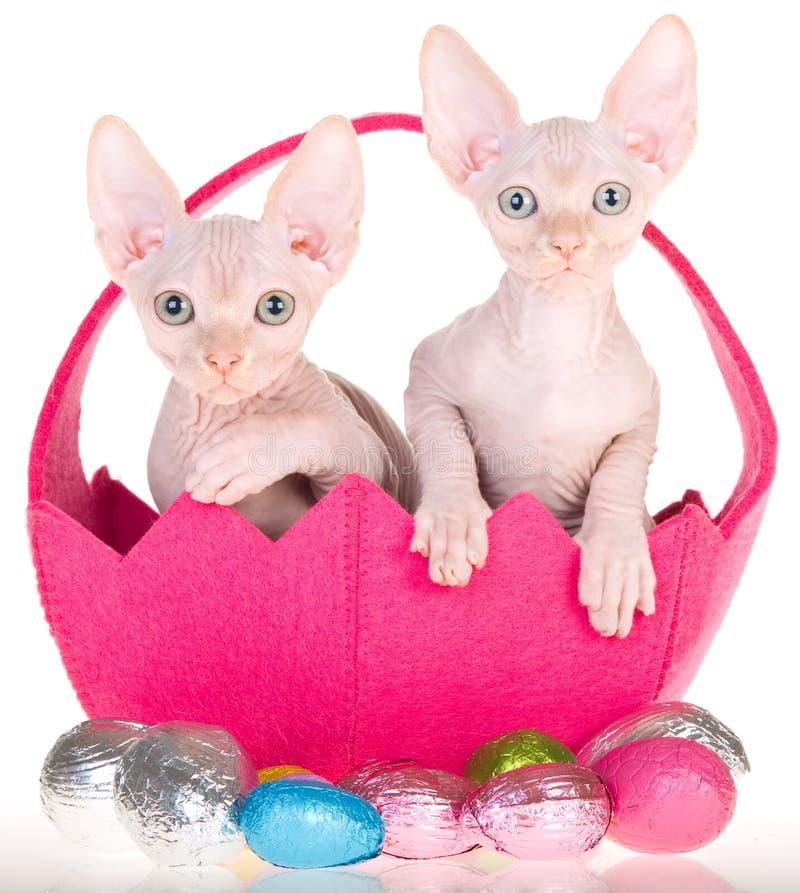 2 Sphynx kittens in Easter basket royalty free stock photo