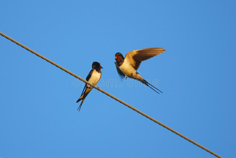 Barn swallows. Two swallows shouting at each other royalty free stock images