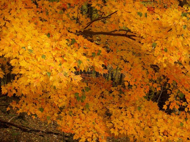 2 szczegółów spadek drzewo fotografia stock