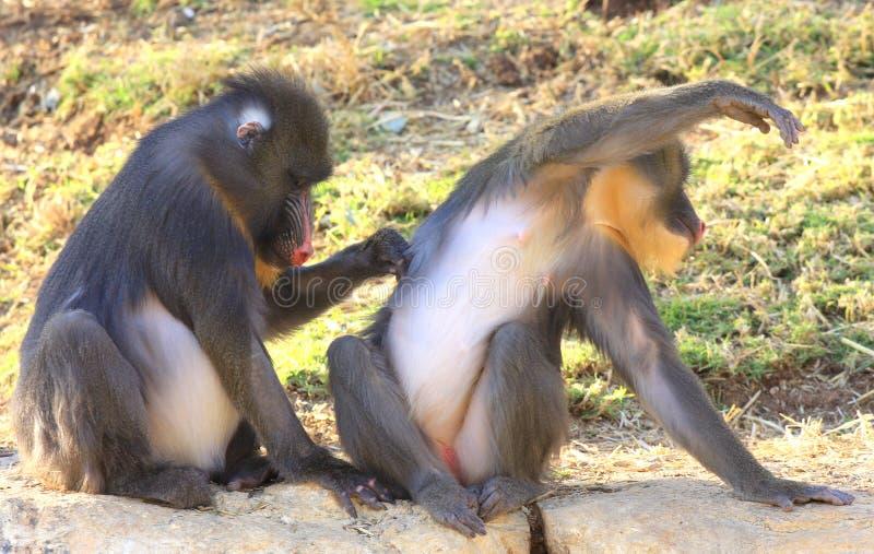 2 szympansy obraz royalty free