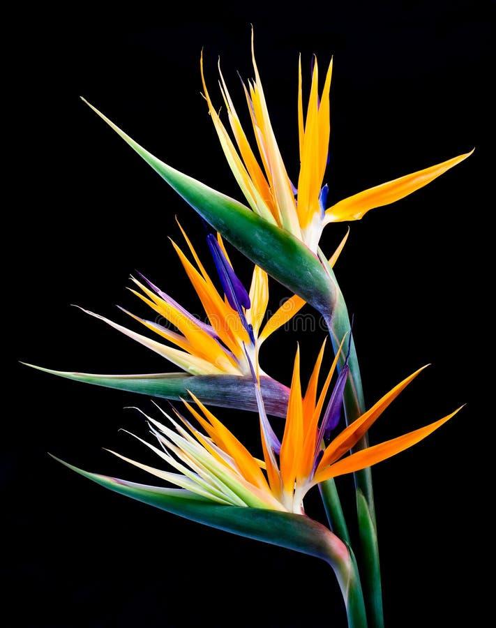 2 tropiska blom arkivbilder