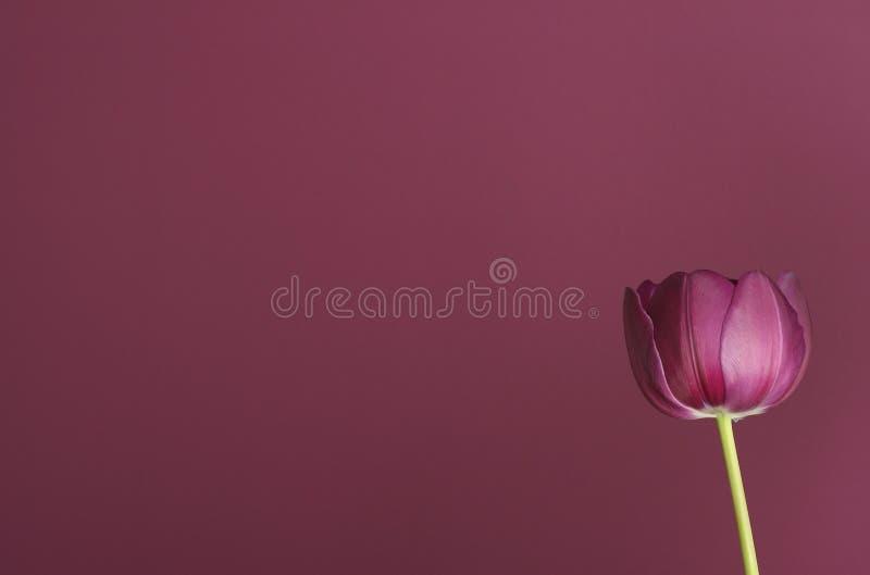 2 tulipan purpurowych zdjęcie stock