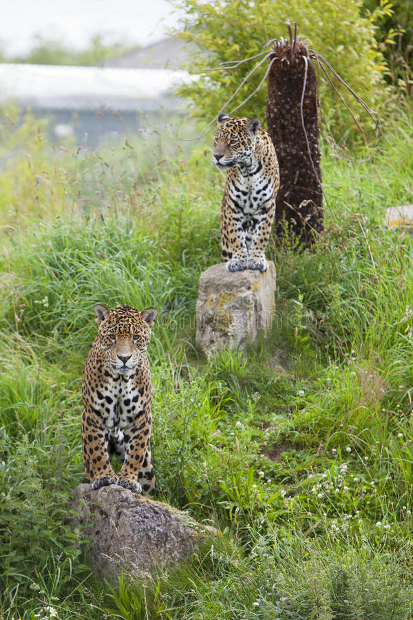 Download 2 watchful Leopards stock image. Image of profile, carnivore - 26454429