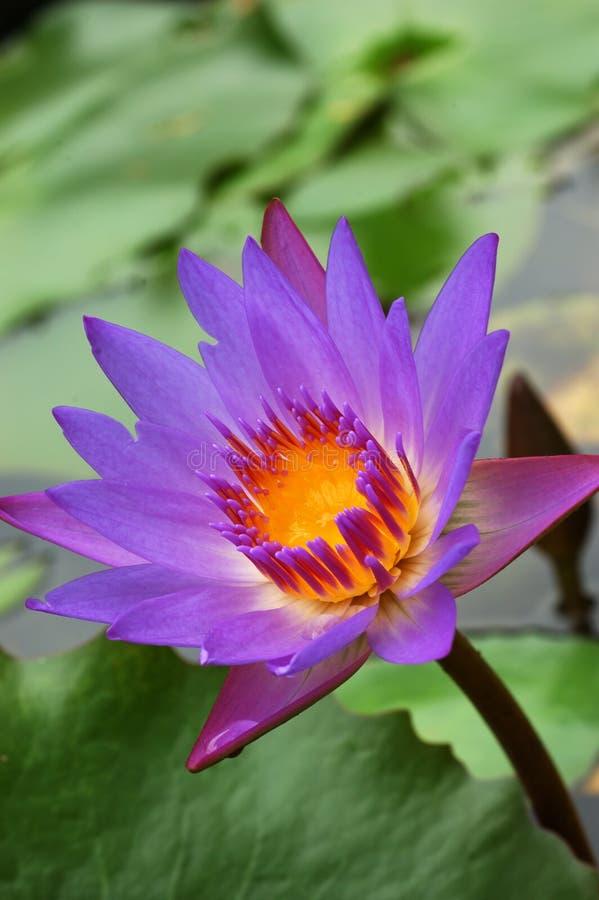 2 waterlily στοκ εικόνες