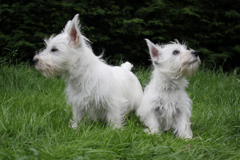 2 westie puppies. Landscape image of westie, west highland terrier puppies on grass royalty free stock images