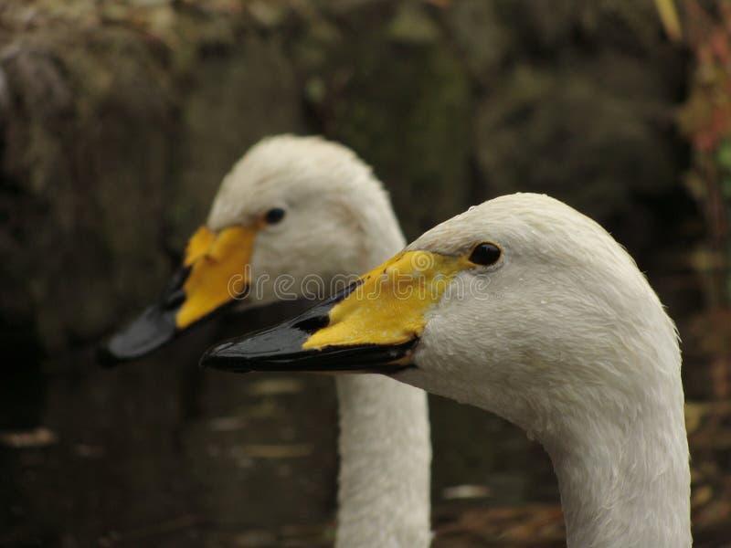 2 White Yellow And Black Ducks Free Public Domain Cc0 Image