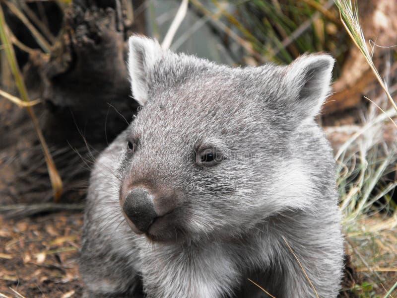 2 wombat 免版税库存图片