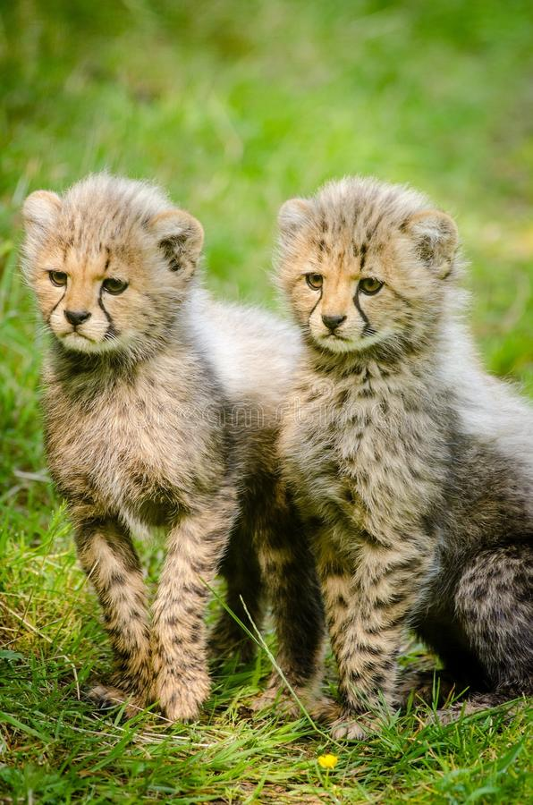 2 Yellow And Black Cheetah Sitting Together Free Public Domain Cc0 Image
