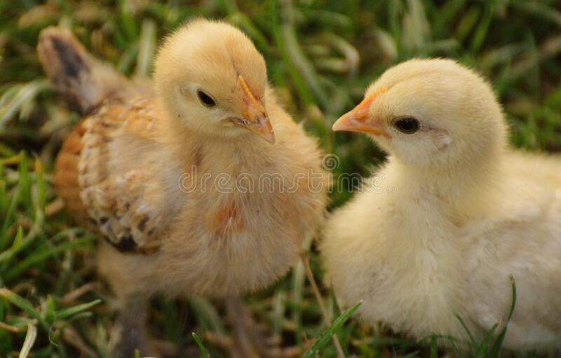 2 Yellow Chick On Grass Free Public Domain Cc0 Image
