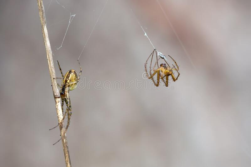 2 Yellow Orb Weaver Spider Weaving Web Free Public Domain Cc0 Image