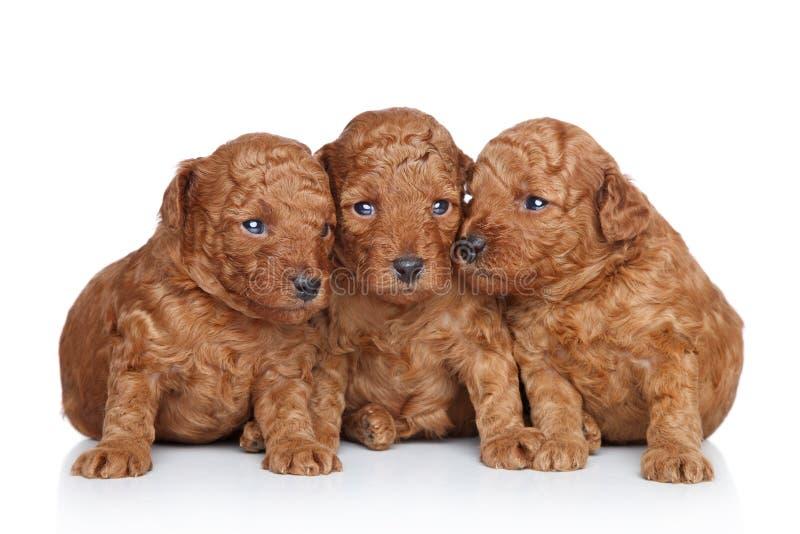 20 дней собирают игрушку щенка пуделя стоковая фотография
