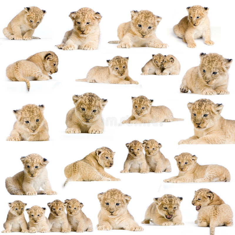 20 leone Cubs