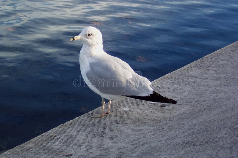 休息的海鸥 免版税库存照片