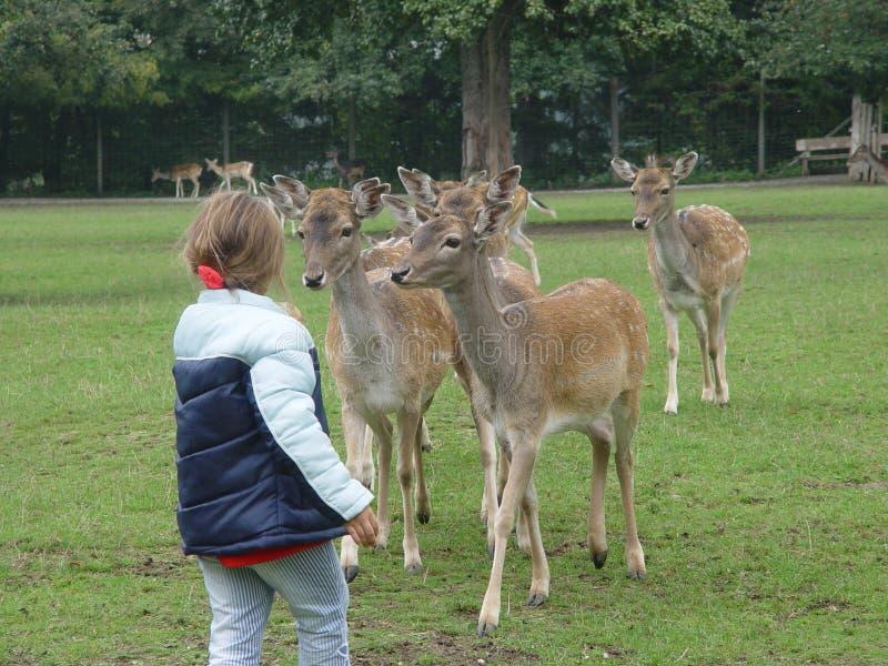 休耕的deers 库存照片