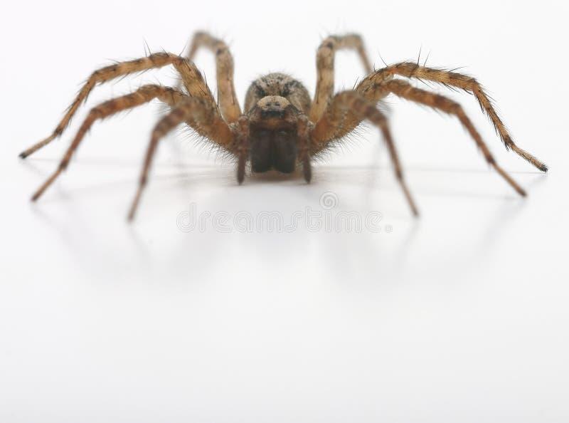 前蜘蛛查阅 免版税库存照片