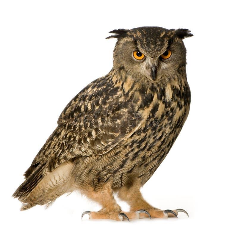 22个腹股沟淋巴肿块老鹰欧亚月猫头鹰 免版税图库摄影