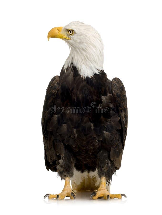 22 łysego orła haliaeetus leucocephalus roku obraz stock