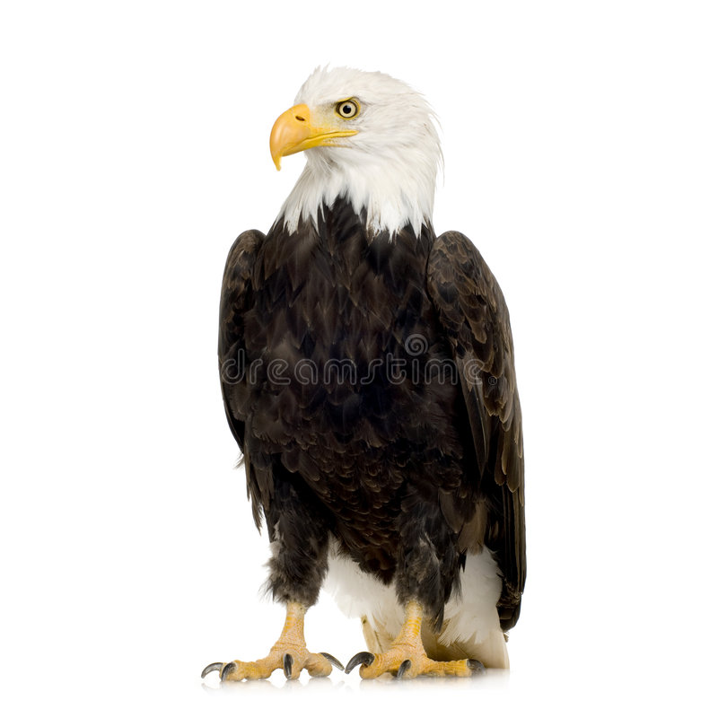 22 łysego orła haliaeetus leucocephalus roku obraz royalty free