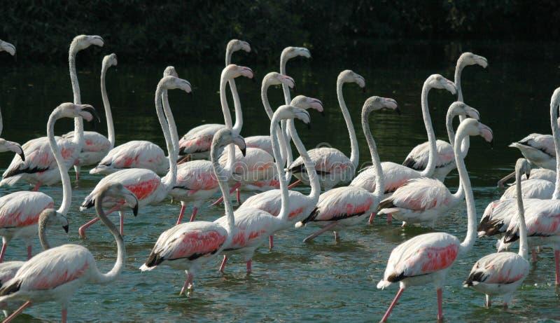 22 flamingos imagem de stock royalty free