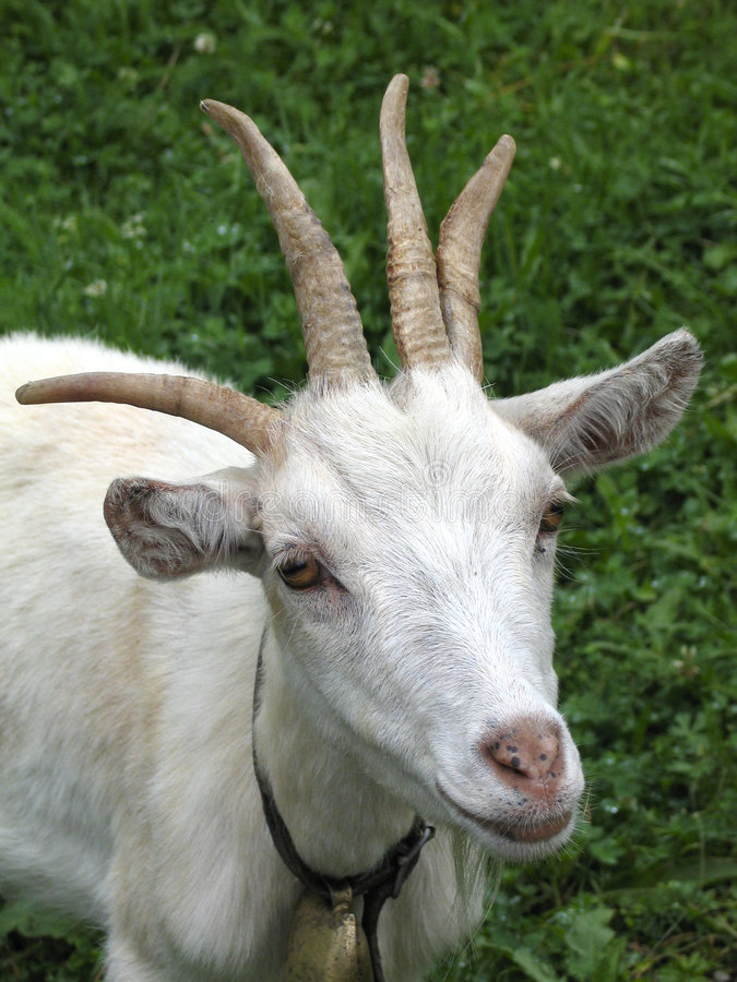 四块山羊垫铁 免版税库存图片
