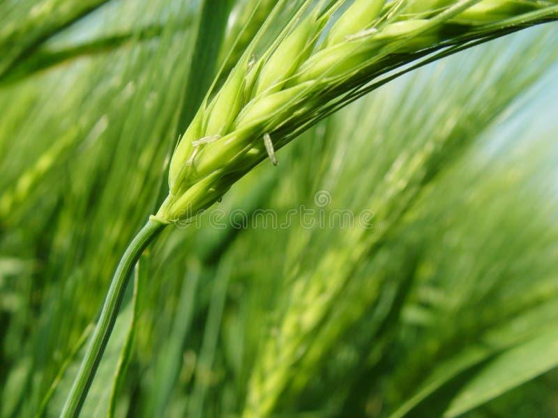 大麦峰值 免版税库存图片