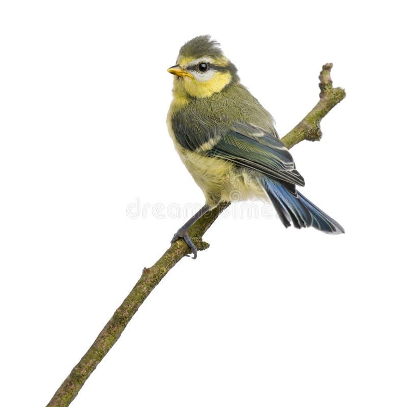 23蓝色分行日年纪栖息的山雀 免版税库存照片