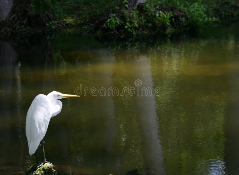 孤立的白鹭 免版税库存照片