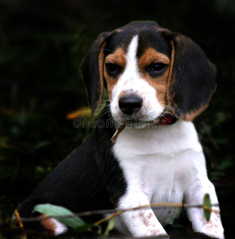 小猎犬男孩 免版税图库摄影
