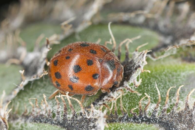 24-spot ladybird. Subcoccinella vigintiquattorpunctata sitting on flower, macro photo stock photography